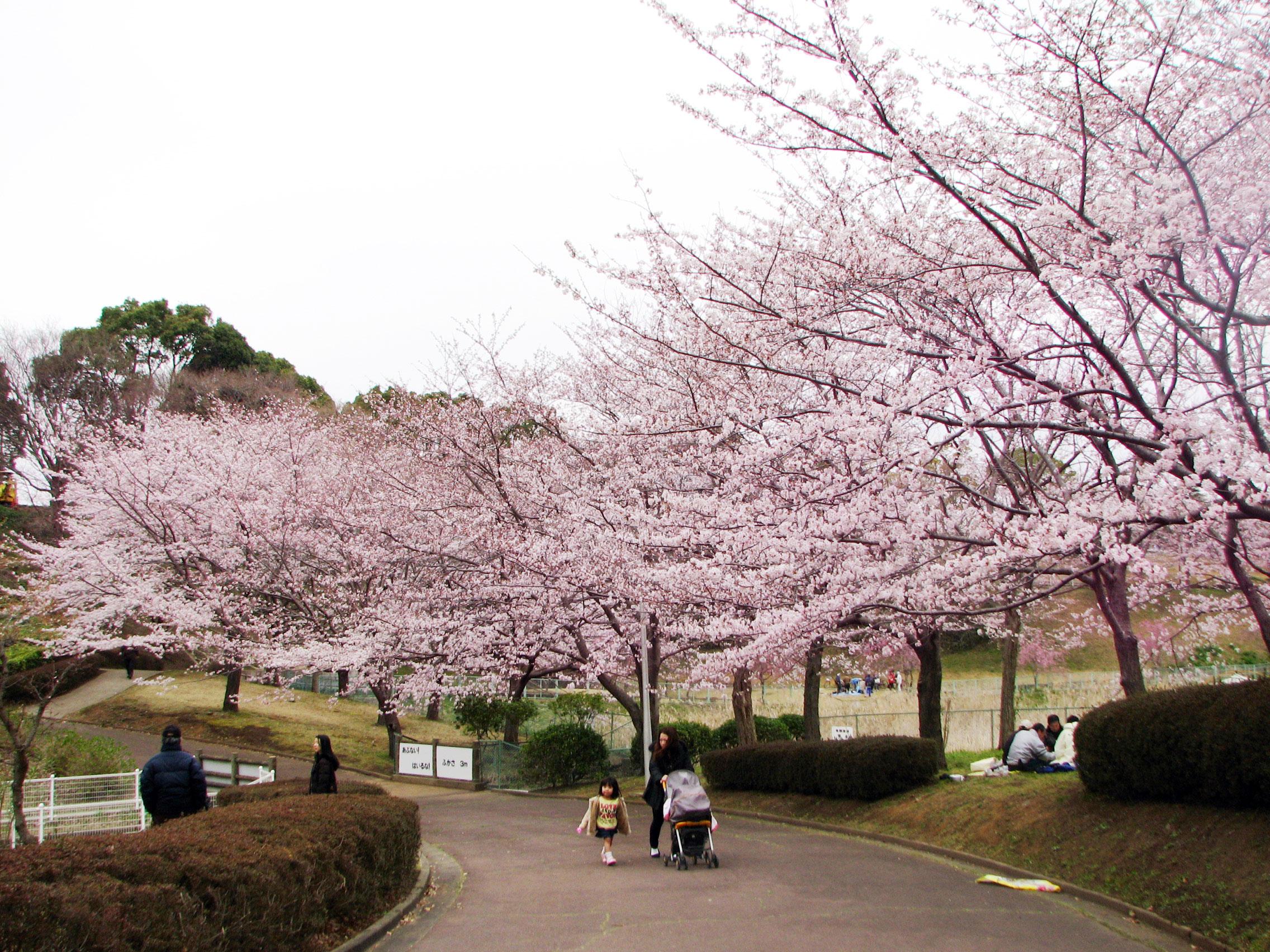 成田ゆめ牧場の桜|花見特集2019