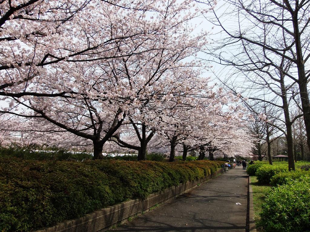 猿江恩賜公園の桜|花見特集2020