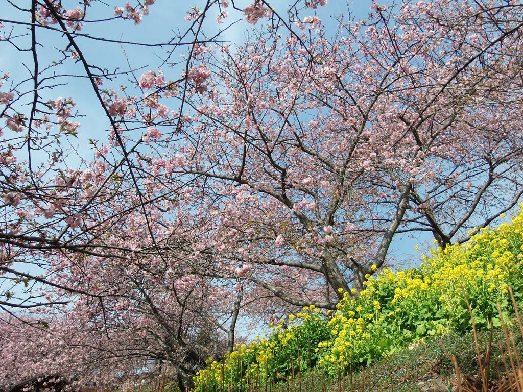 桜 神奈川 河津