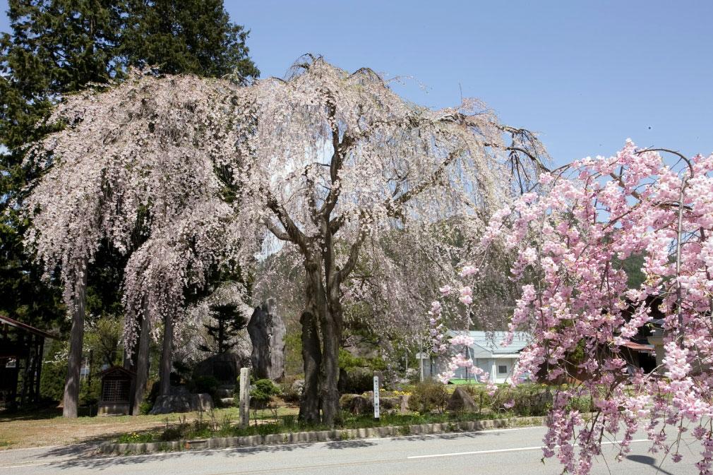 薬師堂の枝垂れ桜 花見特集2019