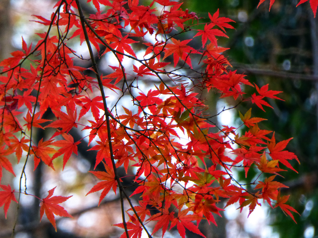 生田緑地・川崎市立日本民家園の紅葉投稿写真|紅葉情報2019