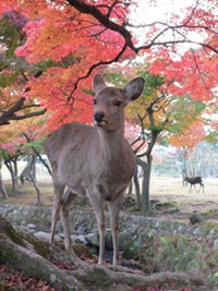 The Autumn Leaves of Nara Park
