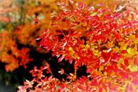 梅小路公園 朱雀の庭 いのちの森の紅葉