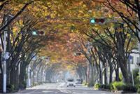 三国ヶ丘 けやき通りの紅葉