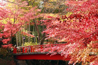 The Autumn Leaves of Bamboo Forest Pass (Shuzenji Onsen )