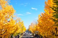 甲州街道イチョウ並木の紅葉
