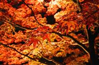 茨城県護国神社の紅葉