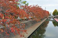 水門川沿いの紅葉