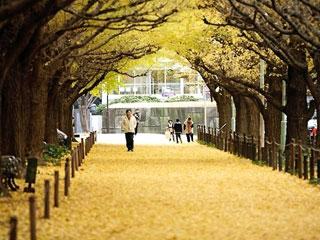 神宮外苑いちょう並木写真2