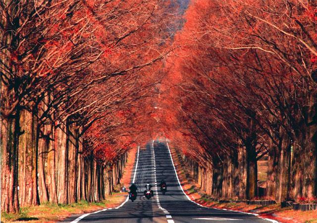 マキノ高原 メタセコイア並木の紅葉情報|紅葉情報2019