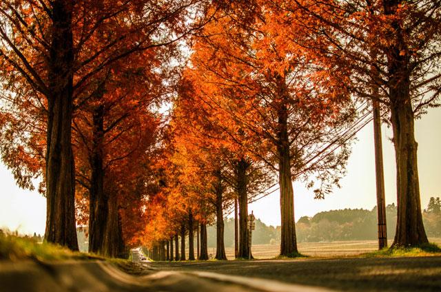 メタセコイア 並木 秋