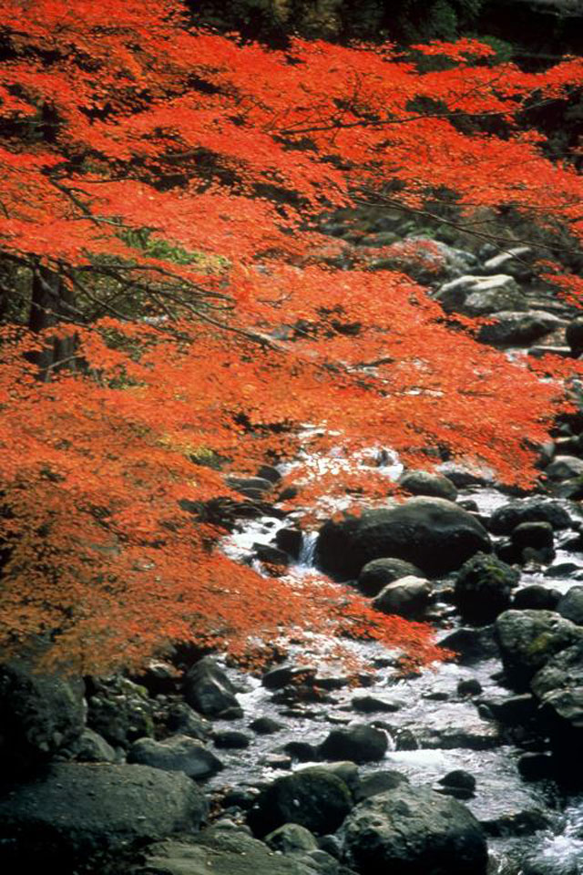 福士川渓谷の紅葉情報|紅葉情報...