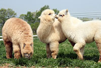 Nasu Alpaca Farm (Nasu Big Farm)