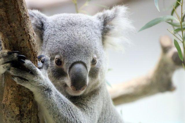 日本ではあまり見れないコアラのいる動物園